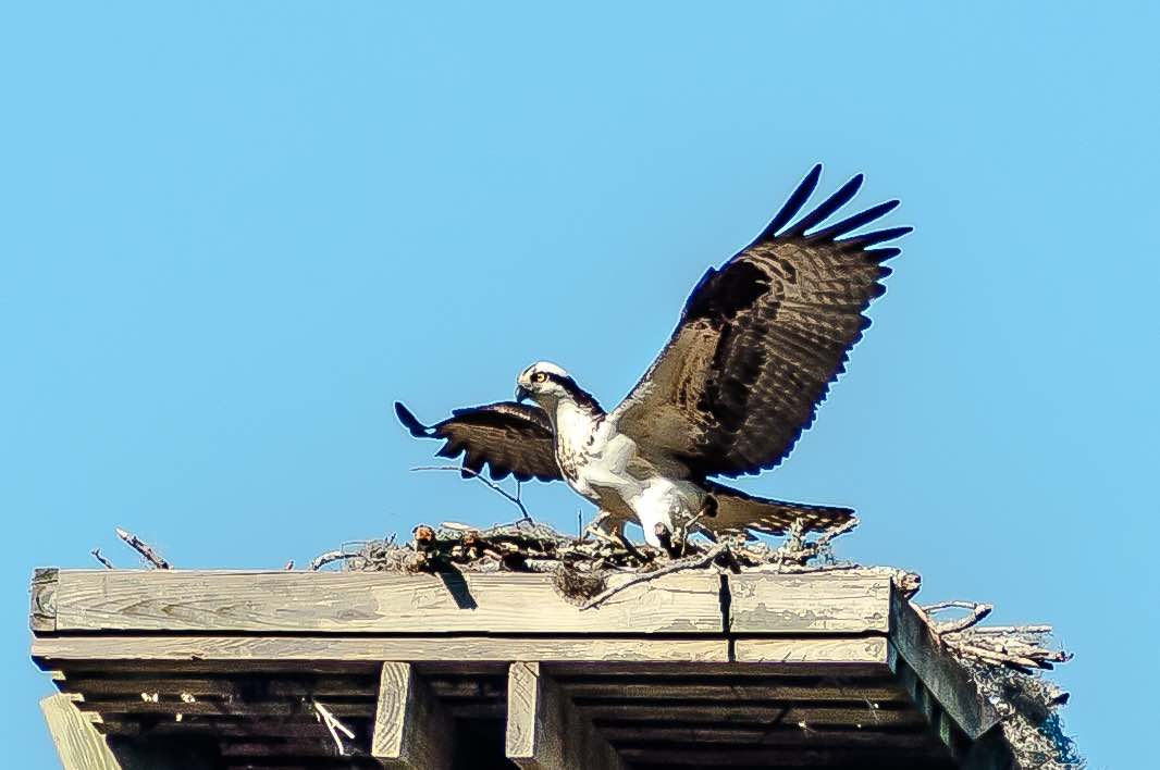 Osprey Takes Flight by Charles Moore