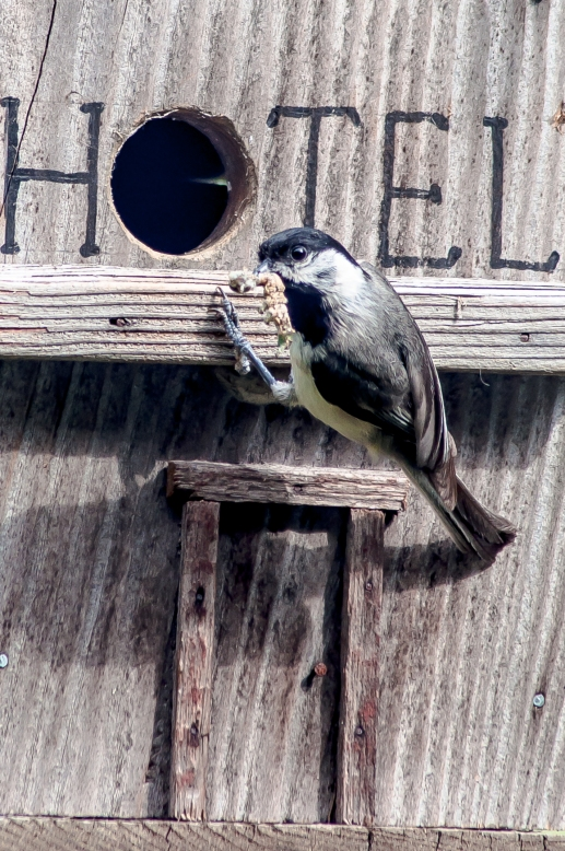 A Carolina Chickadee brings a mouth full to the nest. Charles J Moore