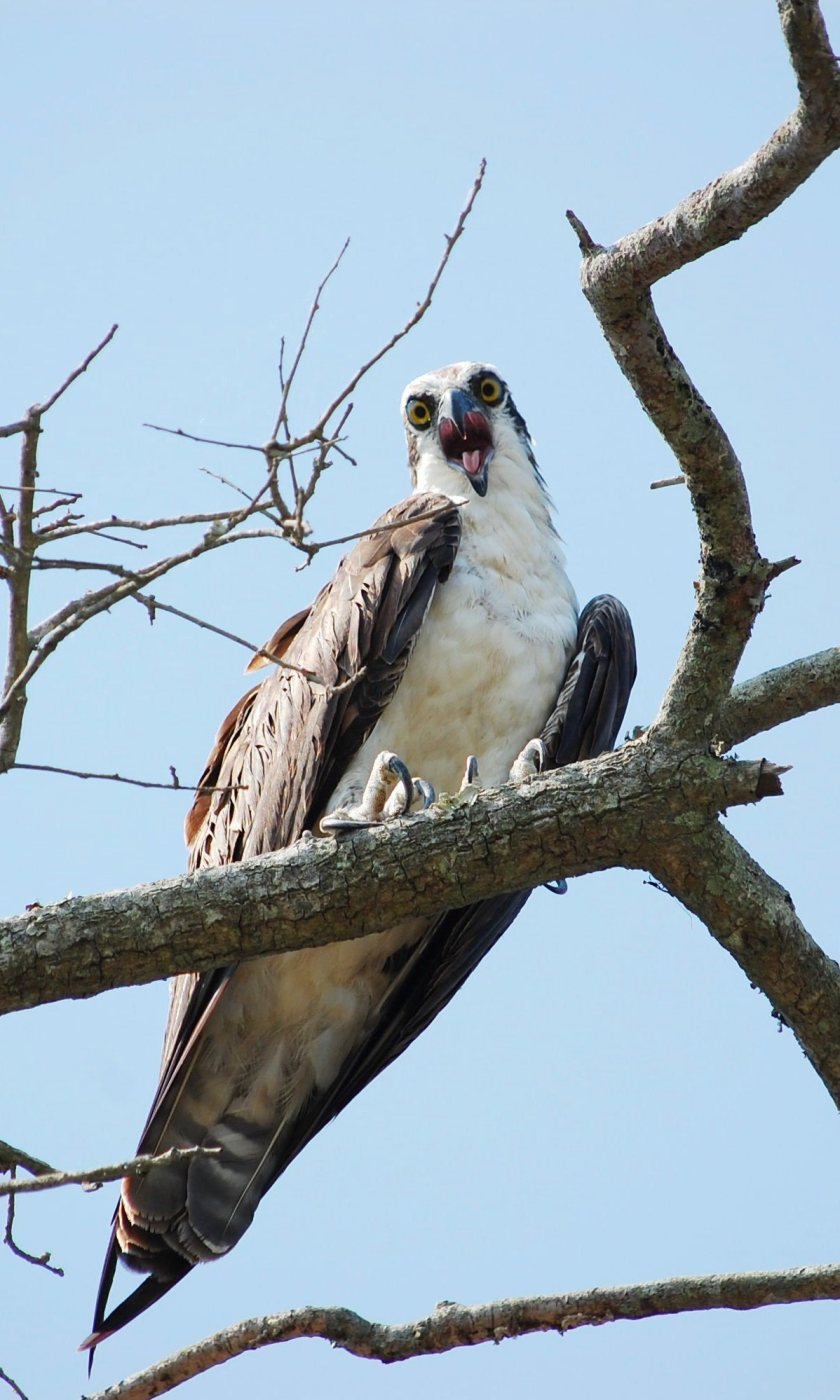 Angry Eyes - Osprey - Marie Wardell