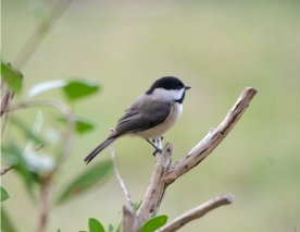 Backyard Birds - Carolina Chickadee - Bob Hider