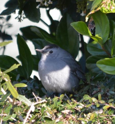 Gray Catbird - Dean Morr