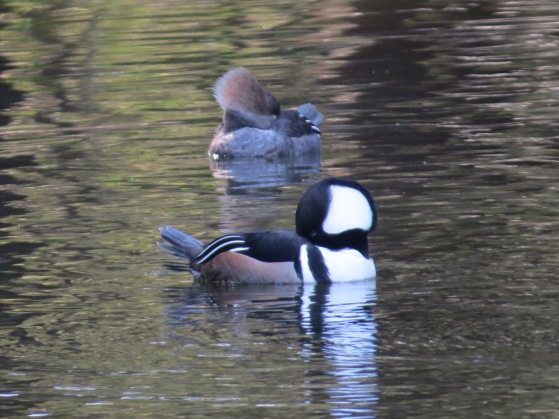 Sleeping Hooded Merganser Couple - Nancy Brown