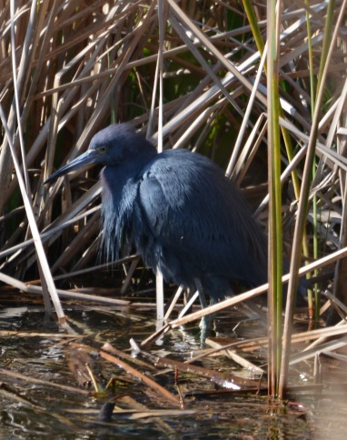 Little Blue Heron - Dean Morr