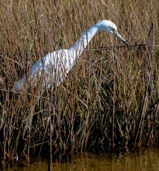 Little Blue Heron - Charley Moore