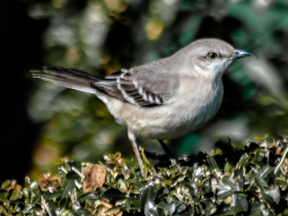 Northern Mockingbird - Charley Moore
