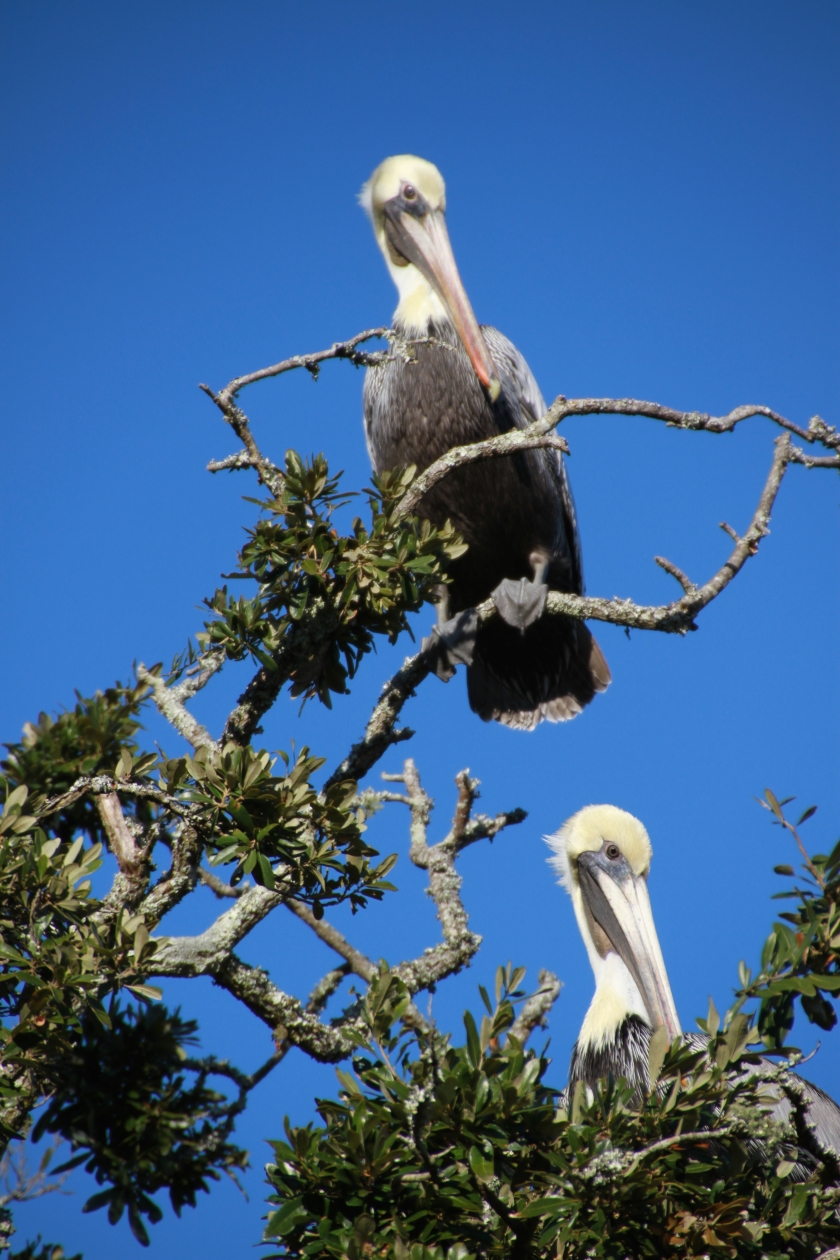 Brown Pelicans sunning on a blue sky day with zero wind - Robert Korski