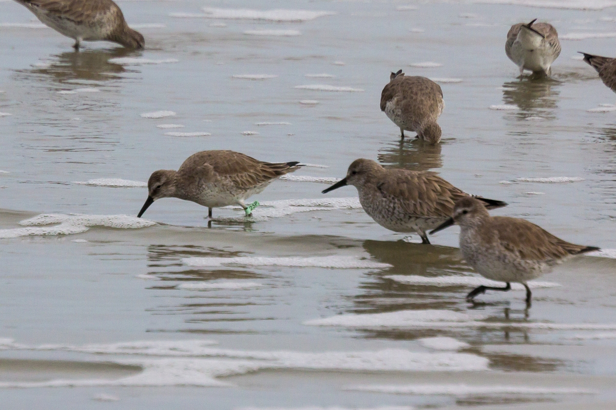 Bird Sighting – Red Knots are Back!