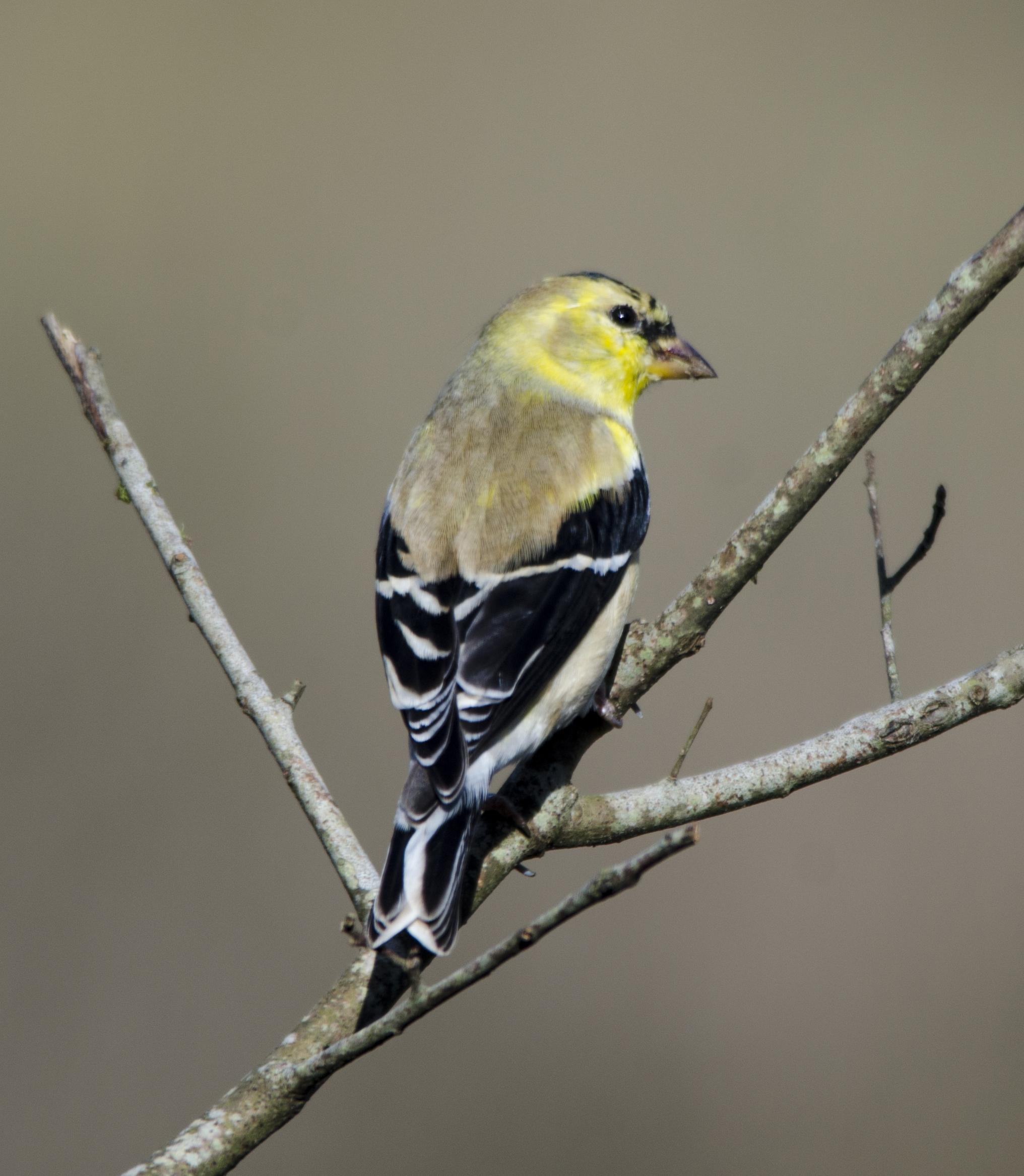 Pájaros vestido para la primavera   BirdNote