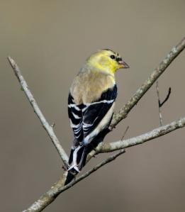 American Goldfinch spring molt - Bob Hider