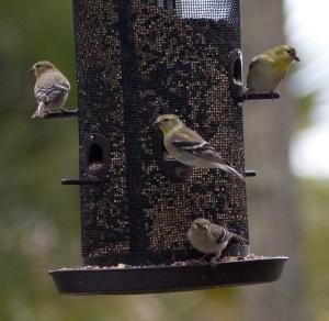 American Goldfinch - Charles J Moore