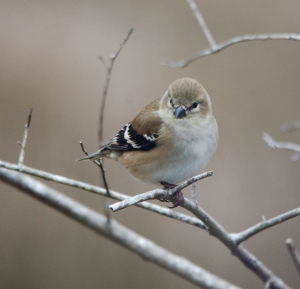 American Goldfinch in winter - Bob Hider