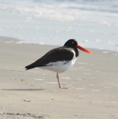 American Oystercatcher on North Beach - Dean Morr