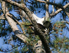 Osprey on Crooked Oaks #6 - Glen Cox