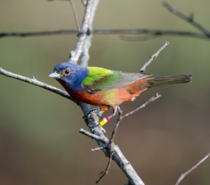 A male Painted Bunting with four brightly colored leg bands. (Photo by Bob Hider)
