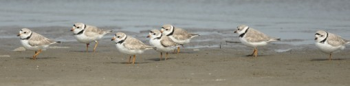 Piping Plover - Ed Konrad
