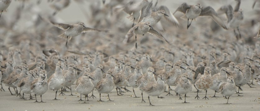 Red Knots - Ed Konrad