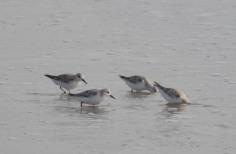 Sanderlings on North Beach - Dean Morr