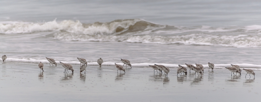 Shore birds of Seabrook Island - Charles J Moore