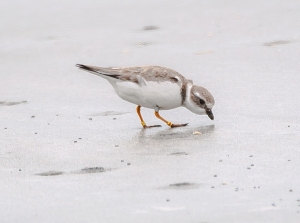 A multi-banded Piping Plover, a threatened species protected by the Endangered Species Act, scurries along North Beach on March 9th feeding on small invertebrates in the sand. (Photo by Charley Moore)