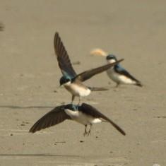 Tree Swallows - Ed Konrad