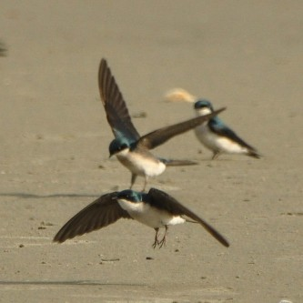 Tree Swallows - Ed Konrad