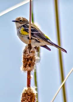 Yellow-rumped Warbler - Charley Moore