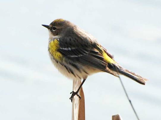 Yellow-rumped Warbler - Carl Helms
