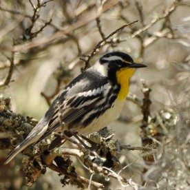 Yellow-throated Warbler - Ed Konrad