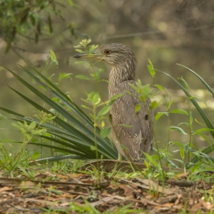 Immature Black-crowned Night-Heron - Ed Konrad