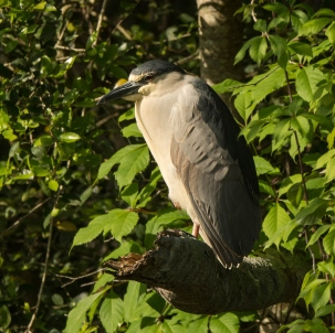 Black-crowned Night-Heron - Ed Konrad