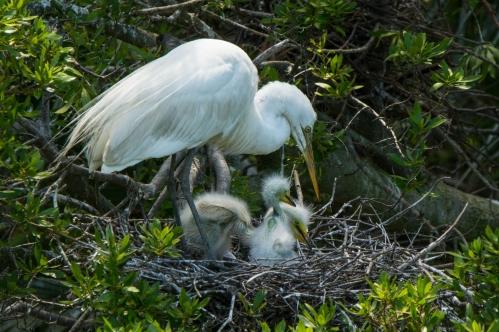 Great Egret at Jenkins Point - Ed Konrad, 4/21/16