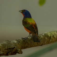Painted Bunting seen by Ed & Aija in the parking lot as they left St. Christopher's. Ed Konrad