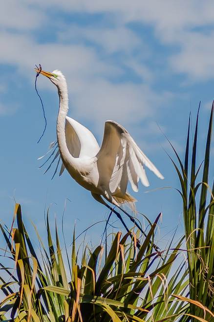 A Great Egret takes flight - Charley Moore