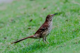 Brown Thrasher - C Moore