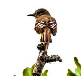 Great Crested Flycatcher - C Moore