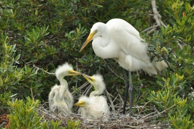 Great Egret Jenkins Point Seabrook Island Ed Konrad