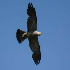 Mississippi Kite flying - Ed Konrad