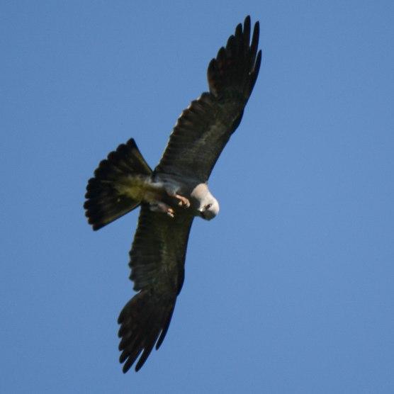 """Mississippi Kite eating """"on-the-wing"""" - Ed Konrad"""