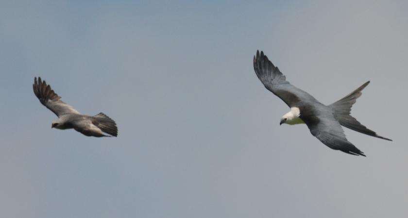 Mississippi Kite (left) & Swallow-tailed Kite (right) - Ed Konrad