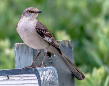 Northern Mockingbird - C Moore