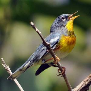 Northern Parula (Male) - Ed Konrad