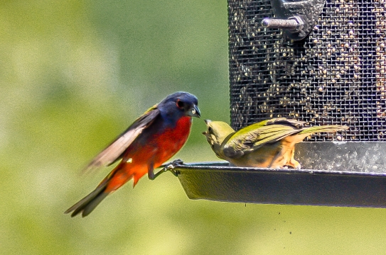 Female Painted bunting protecting her spot at the feeder - C Moore