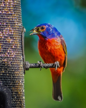 Male Painted Bunting - C Moore