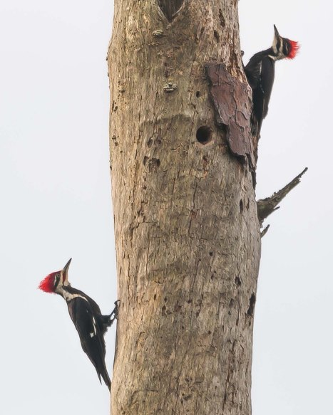Pileated Woodpecker 2 - C Moore