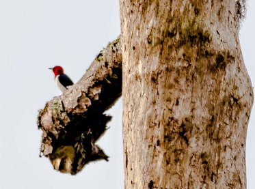 "Red-headed Woodpecker on the ""Eagle Nest Tree"" to the left of the 3rd green on Ocean Winds - Charley Moore"