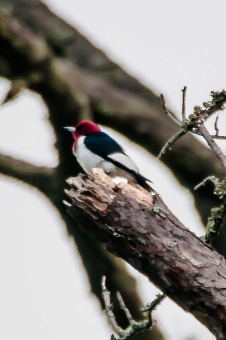 Red-headed Woodpecker to the right of the 10th green on Crooked Oaks - Charley Moore