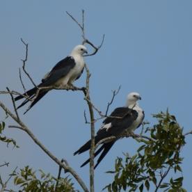 Two Swallow-tailed Kites sitting on a tree - Ed Konrad