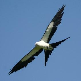 Swallow-tailed Kite flying - Ed Konrad