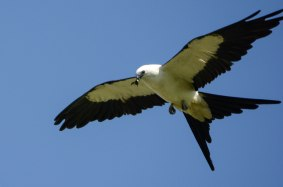 Swallow-tailed Kite eating - Ed Konrad