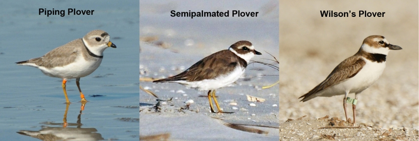 Seabrook Island Plover Comparison: Piping vs Semipalmated vs Wilson's